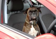 Opel promovează parcarea paralelă automată pe modelul Corsa cu un căţel simpatic, ce pare a fi la volan (Video)